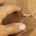 peque–o lagarto de las arenas del desierto