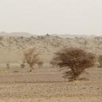 Acacias en el desierto