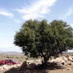 Arbol del Argan cerca de Sidi Ifni