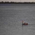 Expedicion Madrid Rumbo al Sur 2011 Pelicano en el rio Saloum